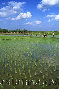 Asia Images Group - Thailand,Chiang Mai,Rice Paddy Fields