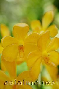 Asia Images Group - Close up of Yellow Orchid flowers