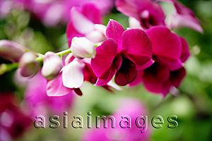 Asia Images Group - Close up of pink Orchid flowers