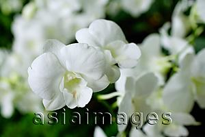 Asia Images Group - Close up of white Orchid flowers